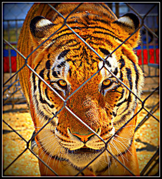 Bengal tiger. Photo by Terry Allen.